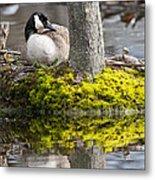 Canada Goose On Nest Metal Print