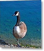 Canada Goose On One Leg Metal Print