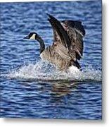 Canada Goose Pictures 111 Metal Print