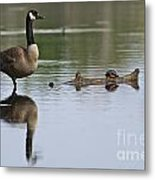 Canada Goose Pictures 172 Metal Print