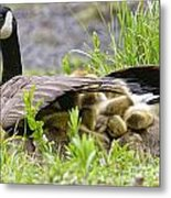 Canada Goose Pictures 192 Metal Print