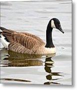 Canada Goose Reflecting In Calm Waters Metal Print