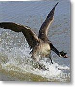 Canada Goose Touchdown Metal Print
