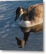 Canada Goose Winter Swim Metal Print