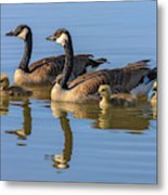 Canada Goose With Chicks Metal Print