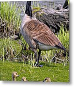 Canada Goose With Young Metal Print