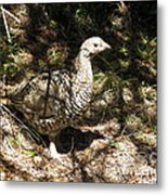 Canada Grouse Metal Print