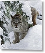 Canada Lynx Hiding In A Winter Pine Forest Metal Print