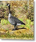 Canadaian Goose Metal Print