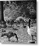 Canadian Geese Metal Print