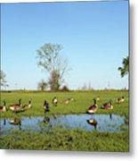 Canadian Geese Community In West Haven Metal Print