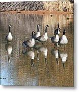 Canadian Geese Watching Metal Print