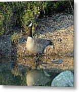 Canadian Goose Reflection Metal Print