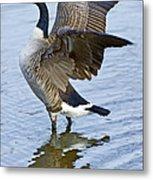 Canadian Goose Stretching Metal Print