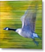 Canadian In Flight Metal Print