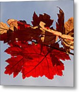 Canadian Maple Leaves In The Fall Metal Print