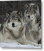 Canadian Timber Wolves Metal Print