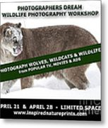 Canadian Wolves Wildcats And Wildlife Photography Workshop Metal Print