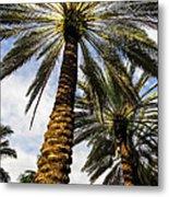 Canary Island Date Palms Metal Print