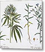 Cannabis And Flax Metal Print