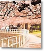 Canopy Of Cherry Blossoms Over A Walking Trail Metal Print