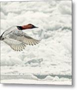 Canvasback Duck In Flight Metal Print