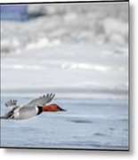 Canvasback Duck On Ice Metal Print