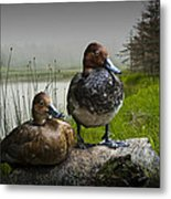 Canvasback Duck Pair By A Pond Metal Print