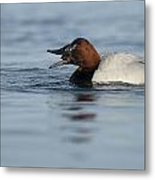 Canvasback On The Mussel Metal Print