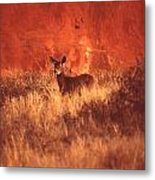 Canyonland Mule Deer Metal Print by T C Brown