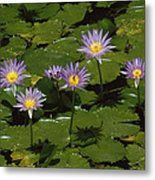 Cape Blue Water-lily Group Blooming Metal Print