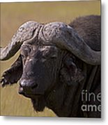 Cape Buffalo   #0607 Metal Print