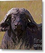 Cape Buffalo   #0609 Metal Print