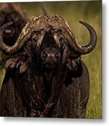 Cape Buffalo   #6883 Metal Print