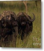 Cape Buffalo   #6884 Metal Print