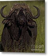 Cape Buffalo   #6885 Metal Print