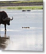Cape Buffalo And Baby Eygptian Geese   #0375 Metal Print
