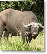Cape Buffalo  Uganda Metal Print
