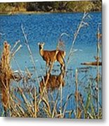 Cape Hatteras Deer In Pond 3 11/22 Metal Print
