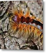 Cape Lappet Moth Caterpillar Metal Print