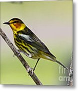 Cape May Warbler Metal Print