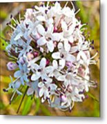 Capitate Valerian Near Savage River Cabin In Denali Np-ak Metal Print