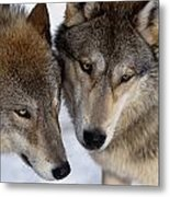 Captive Close Up Wolves Interacting Metal Print