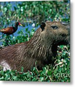 Capybara And Jacana Metal Print by Francois Gohier