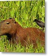 Capybara And Smooth Billed Ani Metal Print