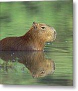 Capybara Wading Pantanal Brazil Metal Print