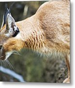 Caracal About To Jump Metal Print