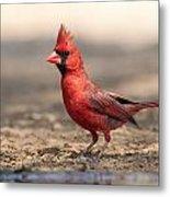 Cardinal - Male 2 Metal Print