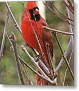 Cardinal 123 Metal Print