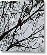 Cardinal Amongst The Branches Metal Print